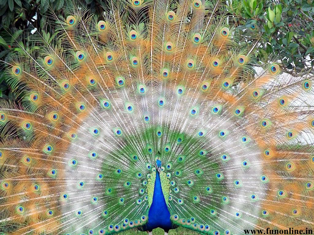national bird of india The indian peafowl was declared the national bird of india in 1963, because it was entirely a part of indian custom and culture it is symbolic of qualities like .