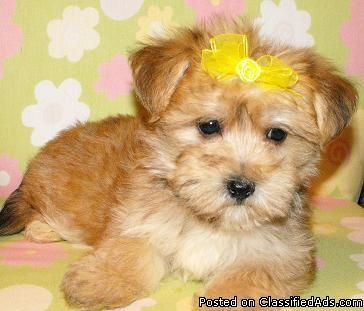 Shorkie and Yorkie puppies for sale Baltimore maryland