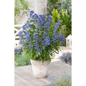 Bartblume Blauer Spatz Gunstig Online Kaufen Mein Schoner Garten Pflanzen Kubelpflanzen Blumen