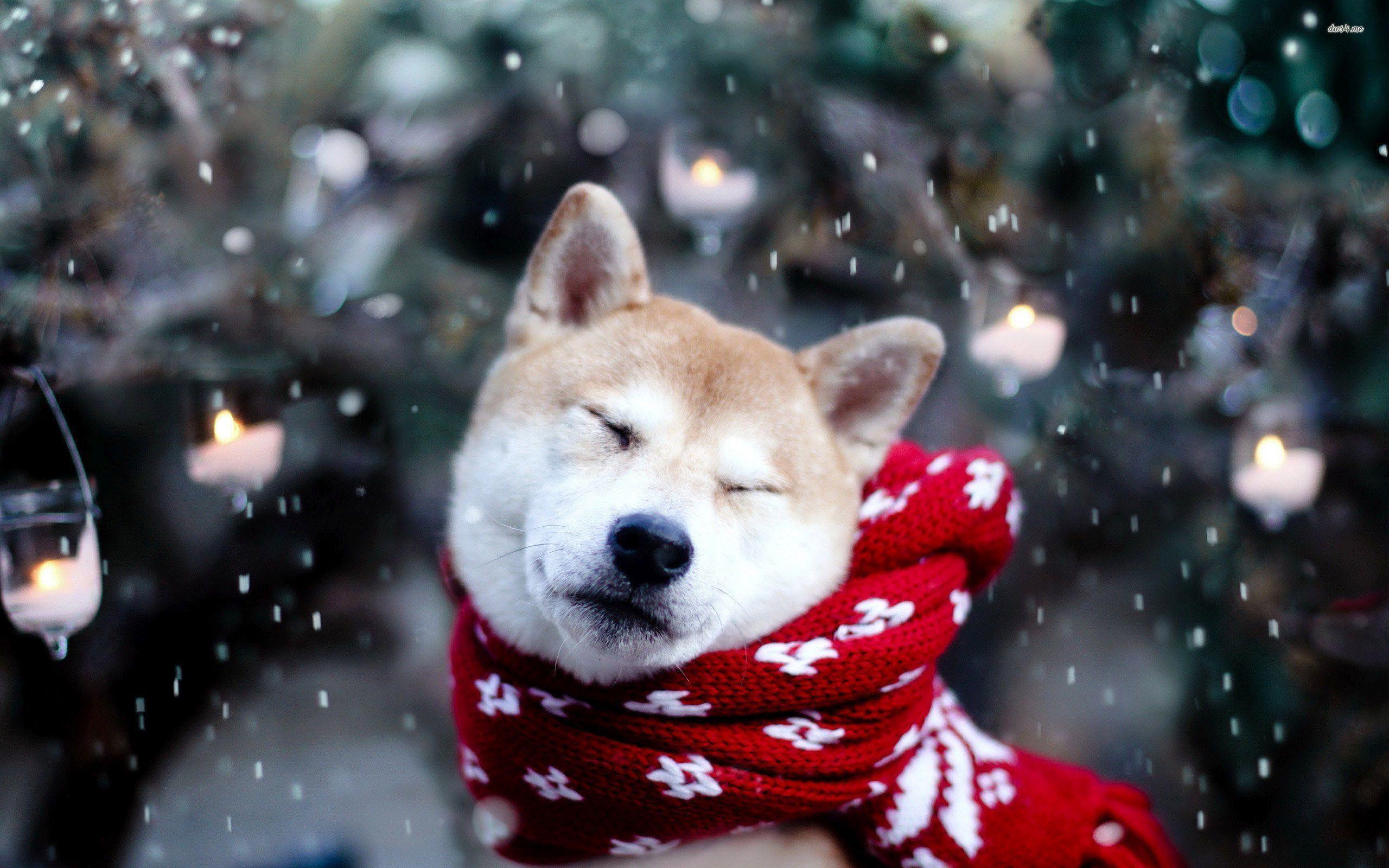 Husky With Red Scarf Hd Wallpaper Winter Dog Animal Wallpaper Shiba Inu