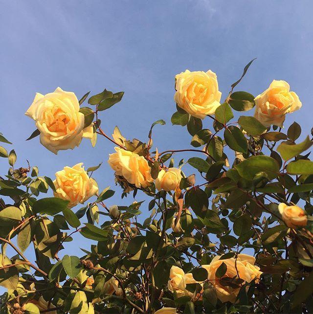 Flower Roses Pinterest: Pinterest// Jociiiiiiiiiiii