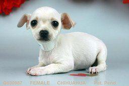 Chihuahua At Petland Pittsburgh Mills Chihuahua Puppies For Sale