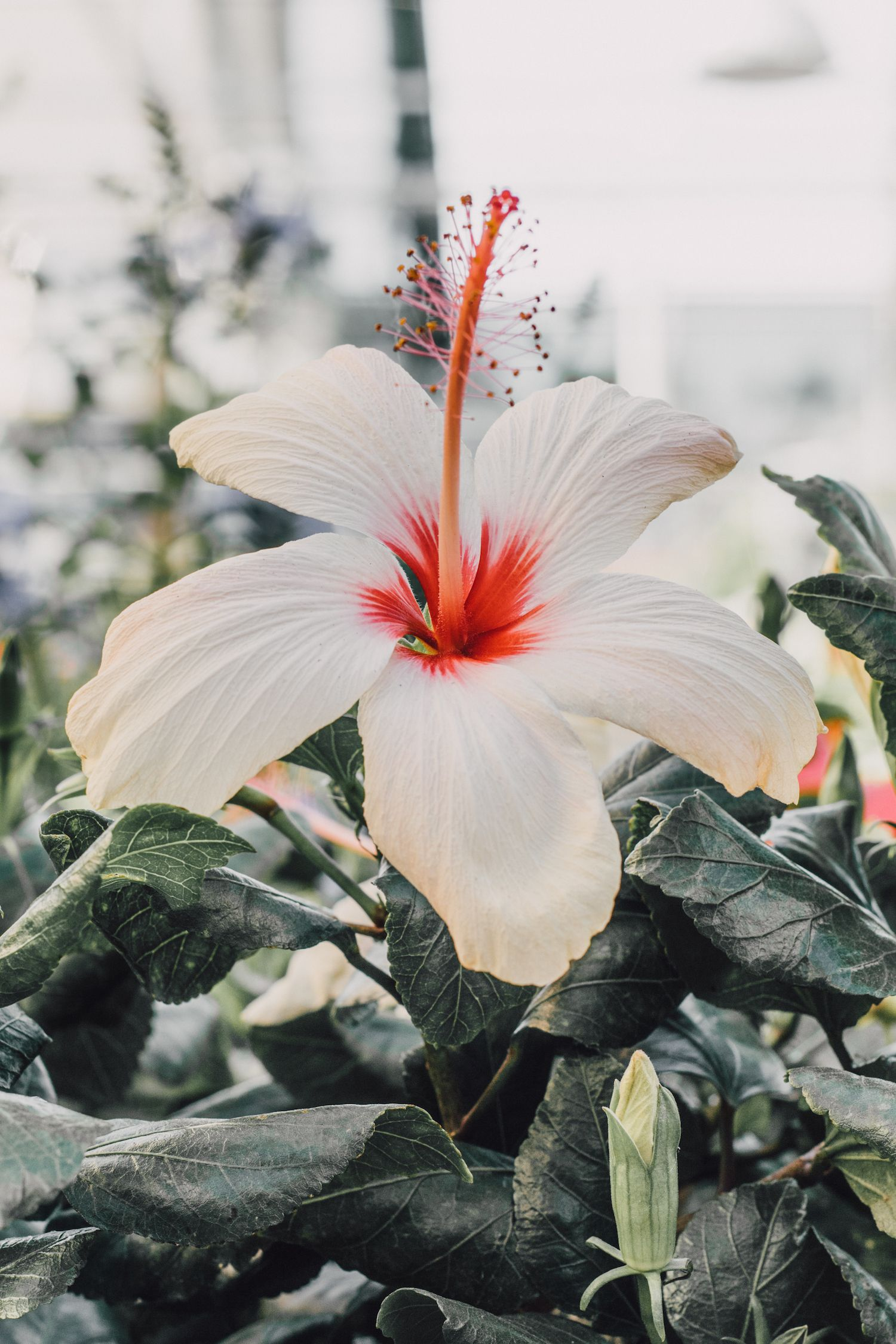 Hibiscus Flower Art Prints For Walls Flowers Photography Hibiscus Flowers Flower Prints Art