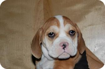 English Bulldog Basset Hound Mix Puppy For Adoption In South River
