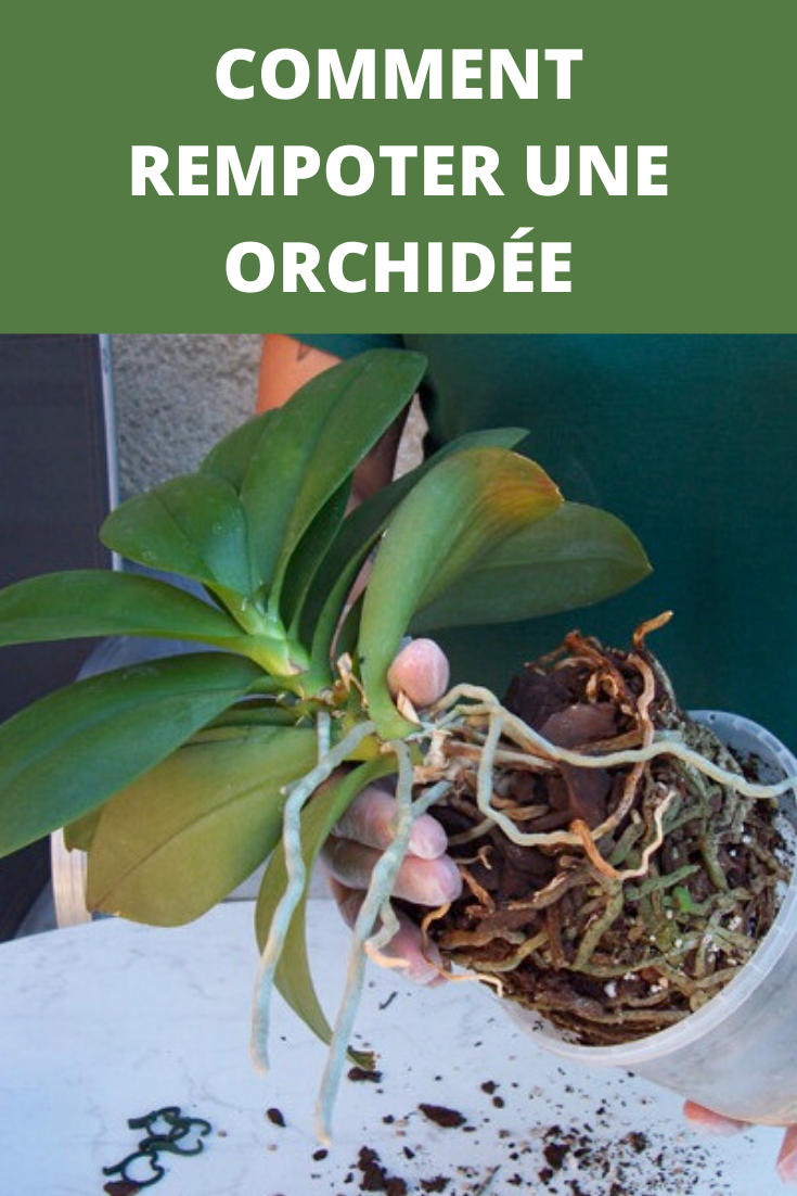 Comment Rempoter Une Orchidee En 2020 Rempoter Orchidee