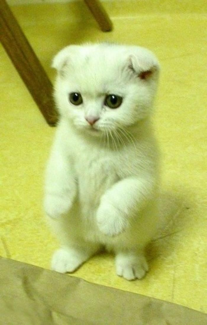Scottish Folds Kitten Cute Cats Cat Breeds Scottish Fold Kittens