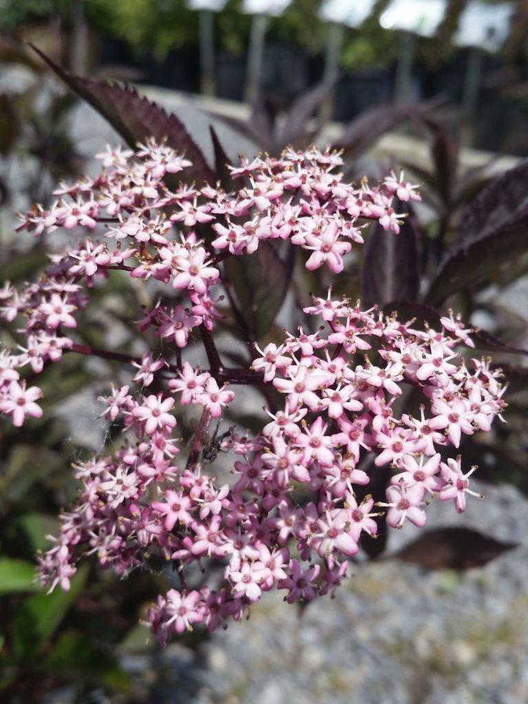Sambucus Black Beauty Elder Black beauties, Plants