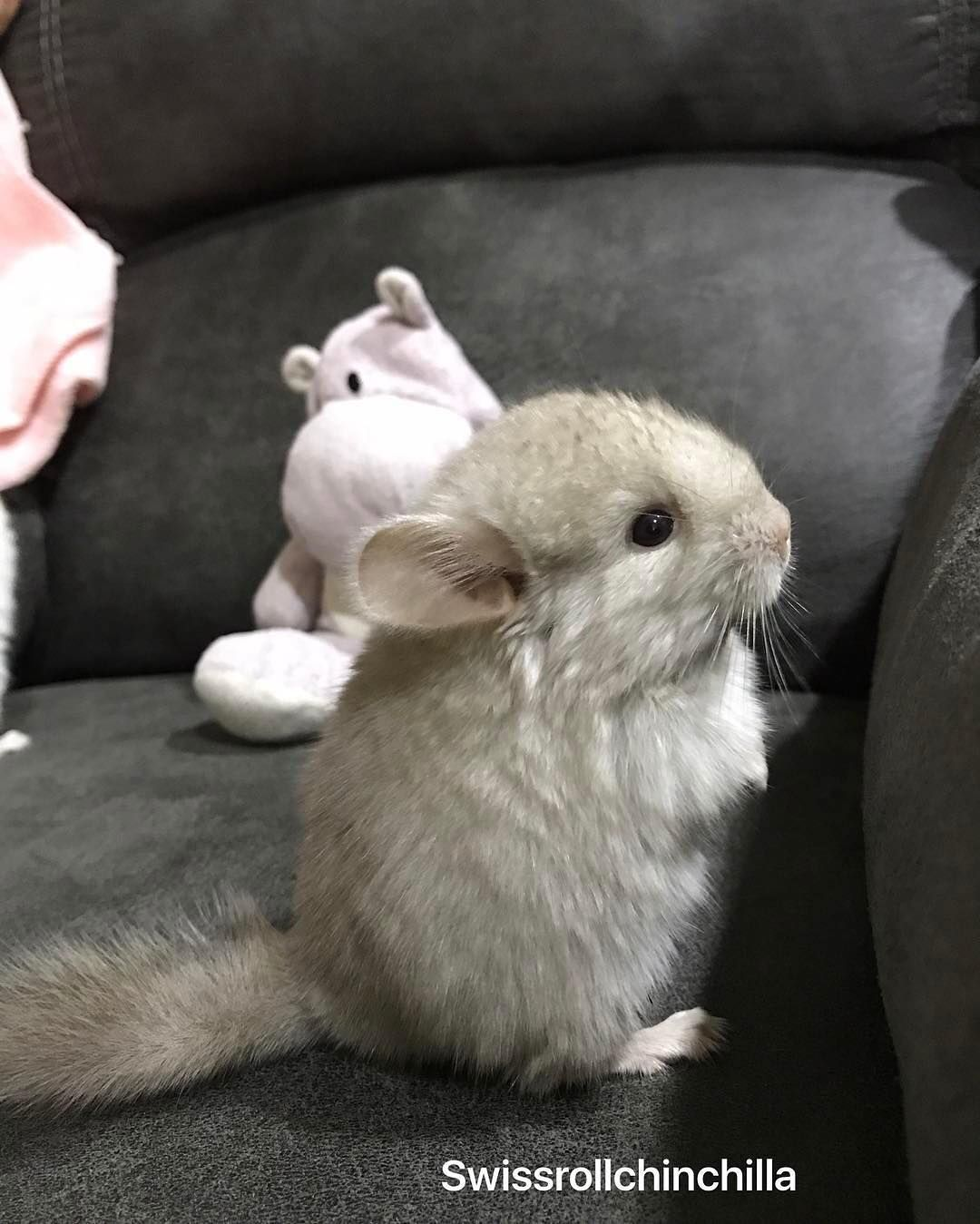 29 Pictures That Prove Chinchillas Are The Cutest Animals On The