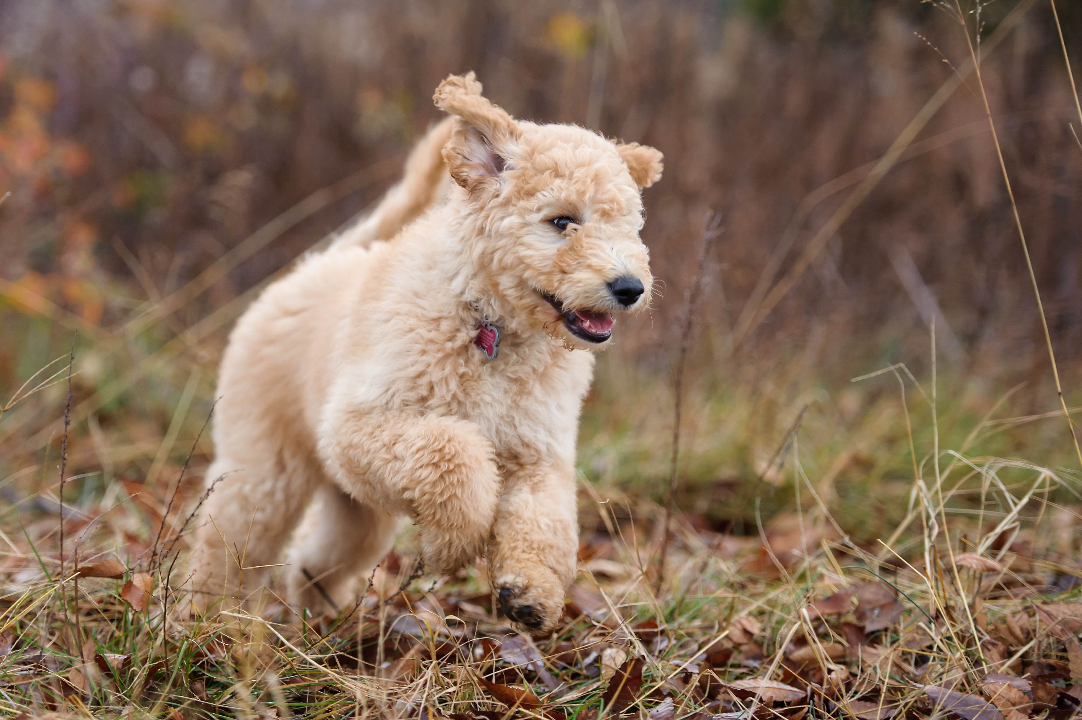 standard goldendoodle puppies for sale florida