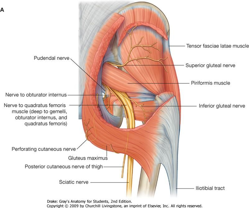 Gluteal Muscles Anatomy Google Search Muscles Anatomy