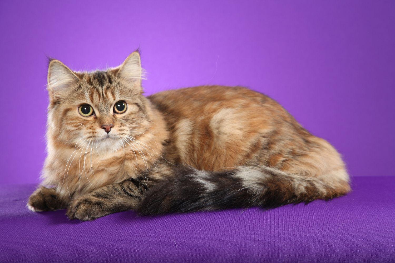 Calico Siberian Kittens Look At Those Big Eyes
