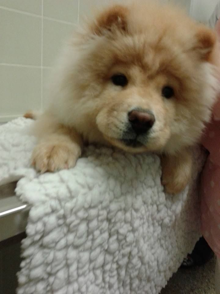Special Needs Paralyzed Chow Chow Who Was Stepped On By His Momma