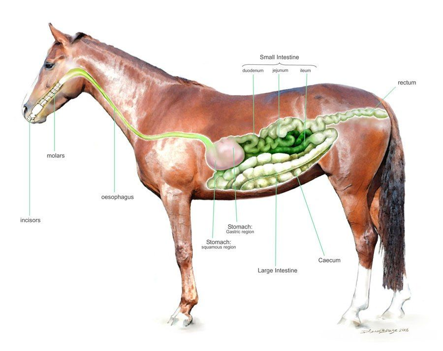 Equine nutrition simply explained. | Horse anatomy and physiology of ...