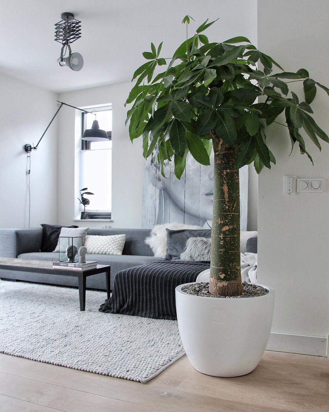 Indoor Money Tree In 2020 Money Trees House Plants Indoor Plants #plants #in #living #room #feng #shui