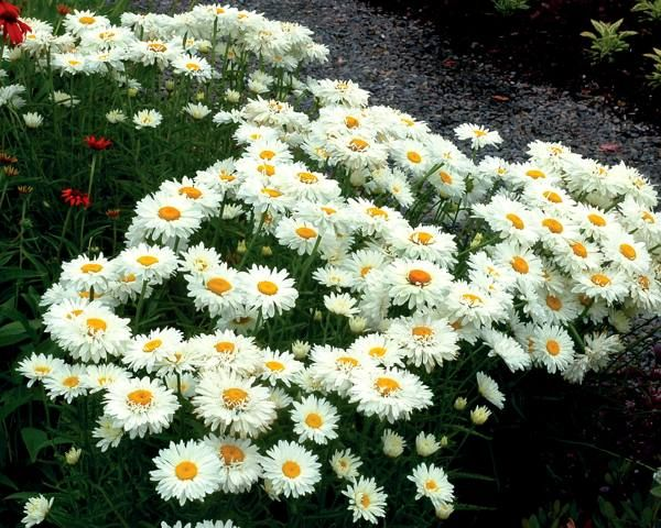Shasta Daisies Are Easy To Grow In The Full Sun Perennial Garden Plants Flower Garden Plants Planting Flowers