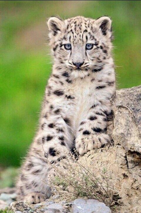 Majestic little snow leopard