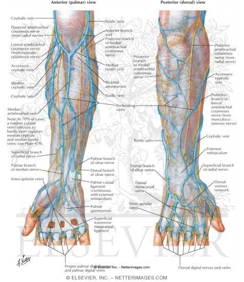 Anatomy Veins Of The Hand And Forearm Nurse Notes Pinterest
