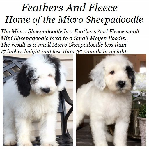 Micro Sheepadoodles With Images Sheepadoodle Puppy