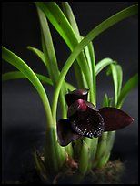 Maxillaria schunkeana. A species orchid ( color)