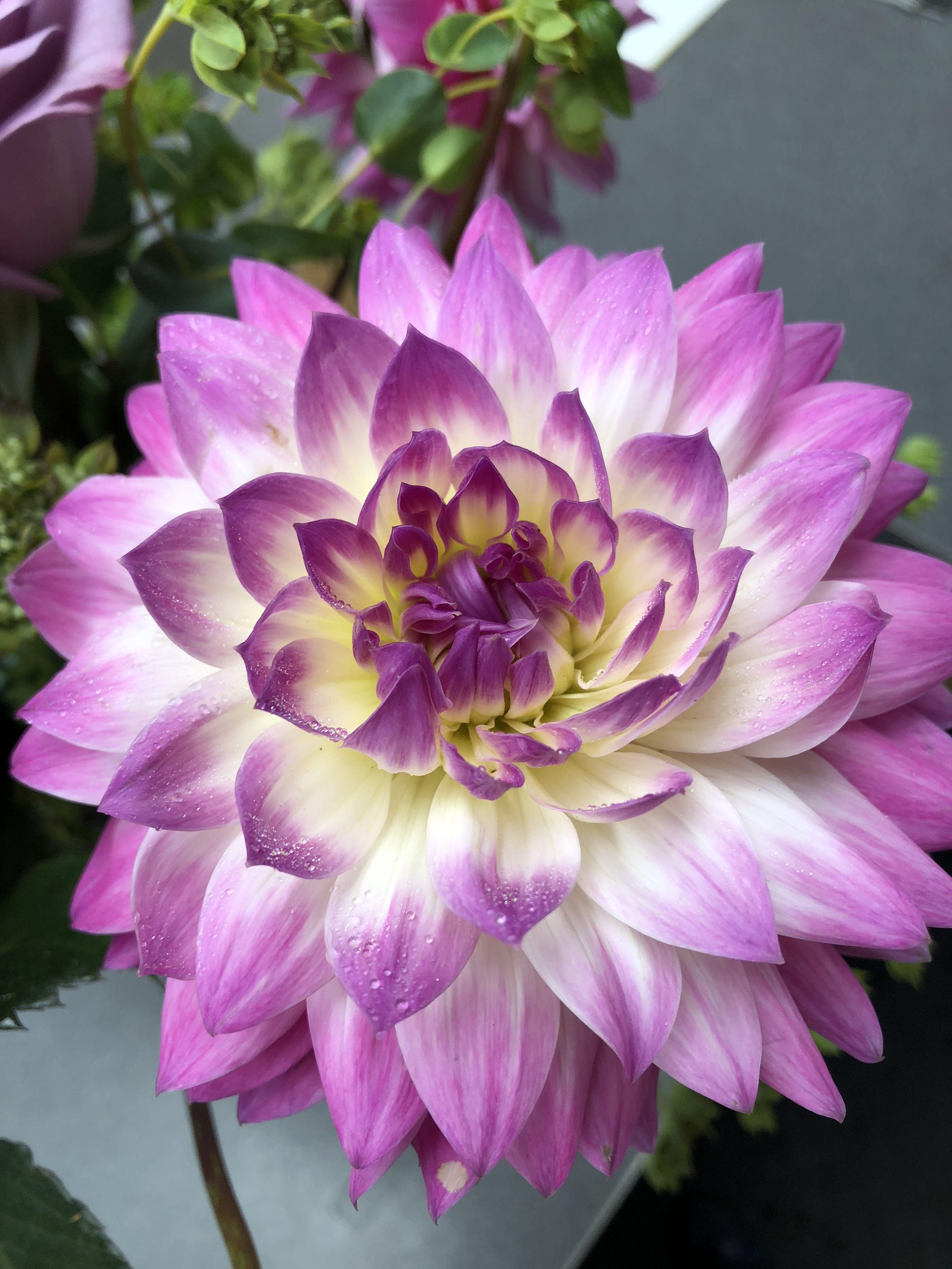 Dahlia flower market beautiful flowers flowers