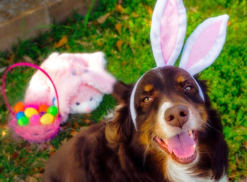 Australian Shepherd Dog Wearing Easter Bunny Ears Carmen K