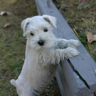 Miniature Schnauzer Puppies For Sale Males And Females Parties Silvers Platinium Livers Whites Rare Colors At Schnauzer Puppy Schnauzer Schnauzer Breed