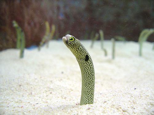 The Disappearing Garden Eel Weird Animals Weird Animal Facts