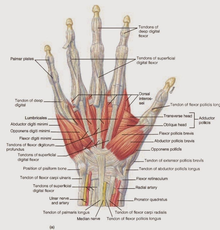Netter Finger Diagram - Auto Electrical Wiring Diagram •