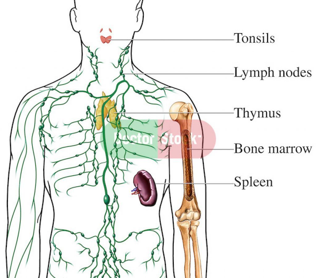 Lymphatic System Lymph Nodes Diagrams | Nursing | Pinterest ...