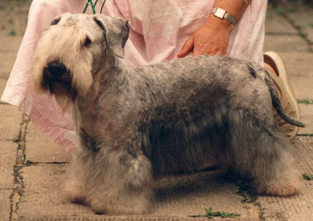 Cesky Terrier » JaneDogs