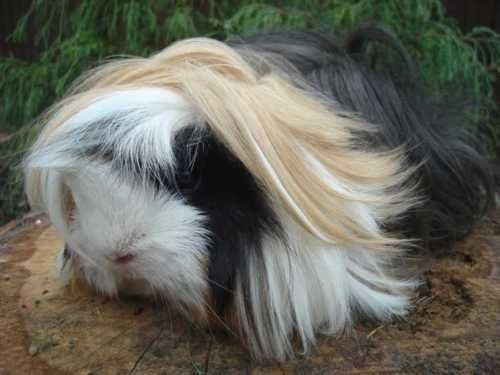 Long-Haired Guinea Pig. look at those locks!!!