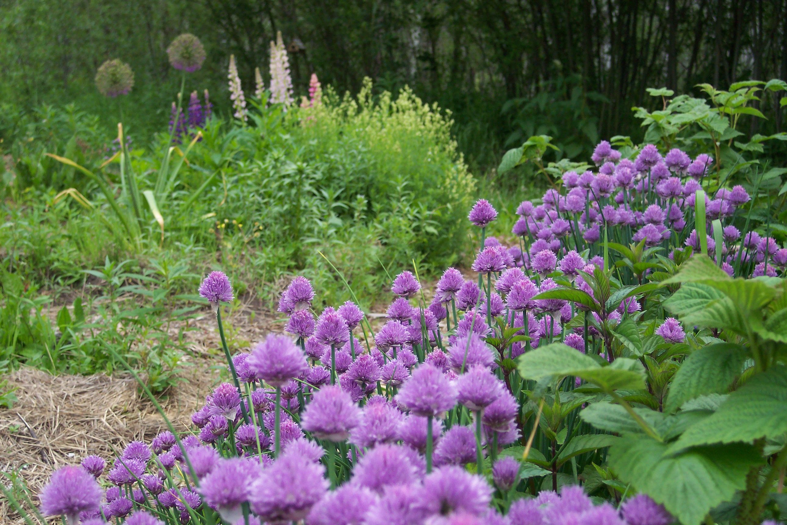 Chives hardy herbs plants garden projects outdoor