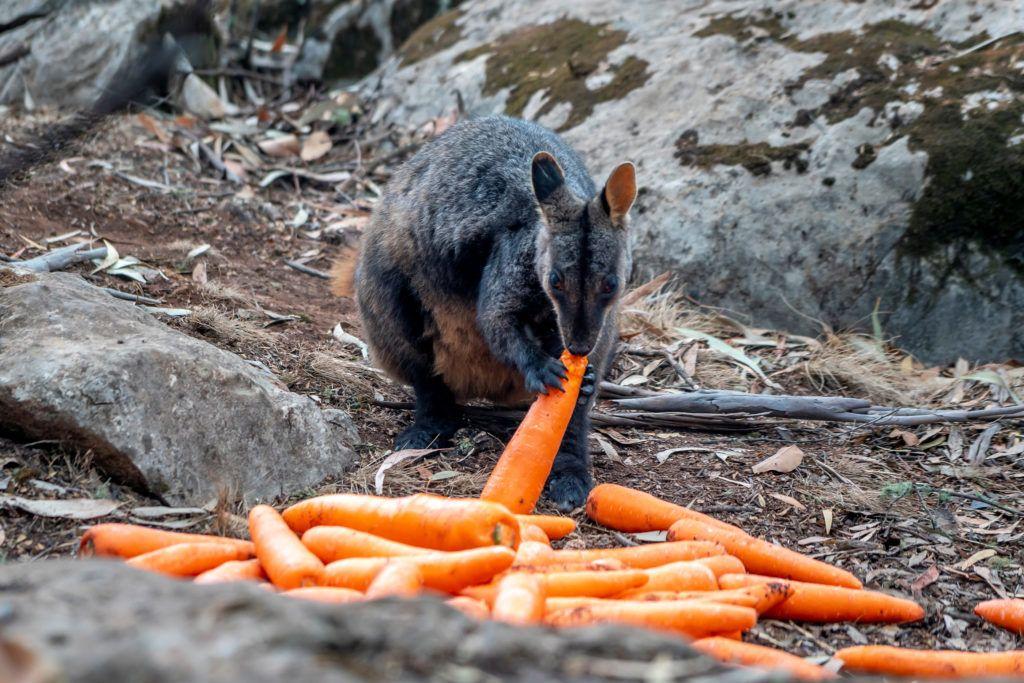 Wildlife Experts Rush To Rescue Australian Animals After Bushfire