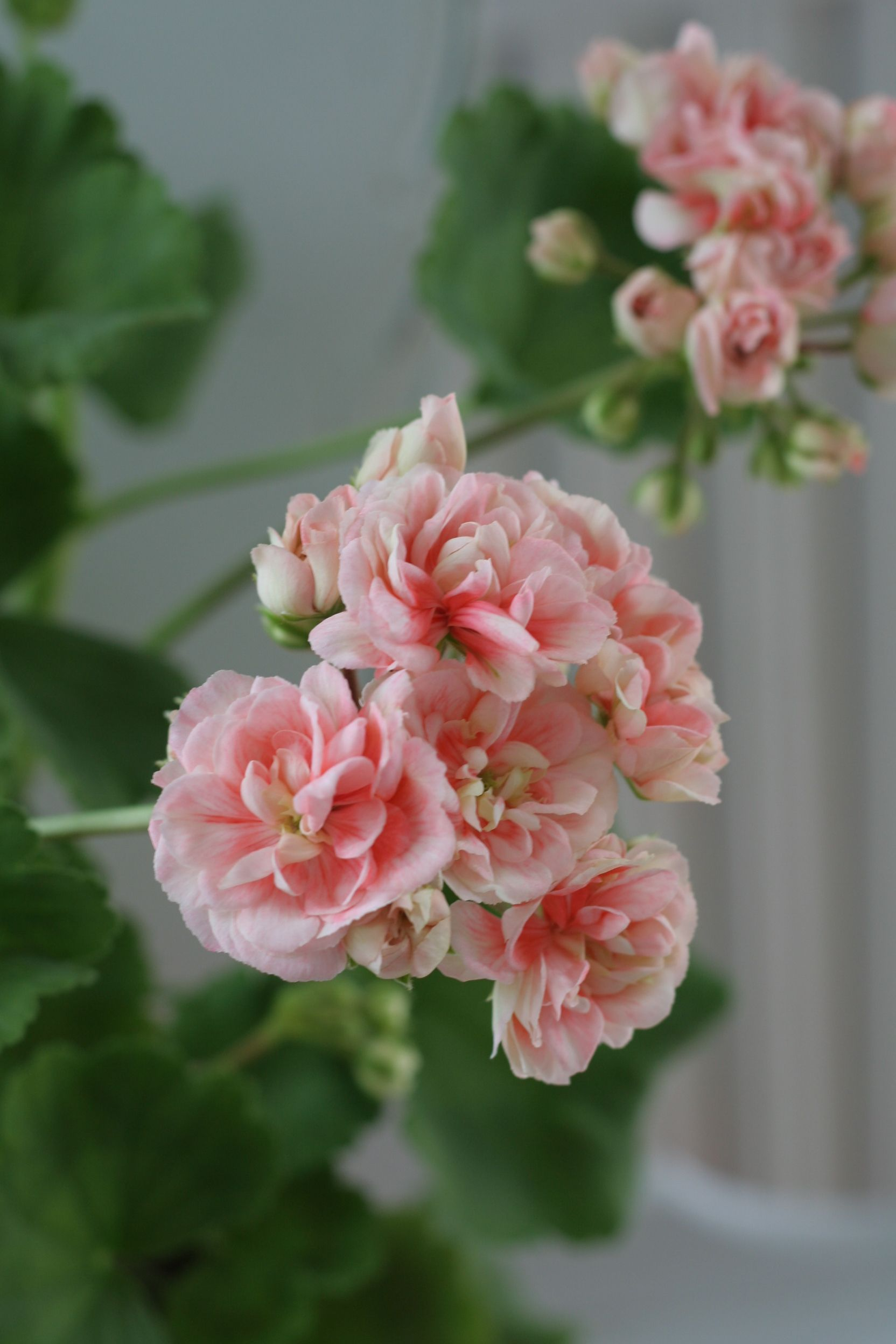 Big apple rosebud Pink geranium, Flowers, Rose buds