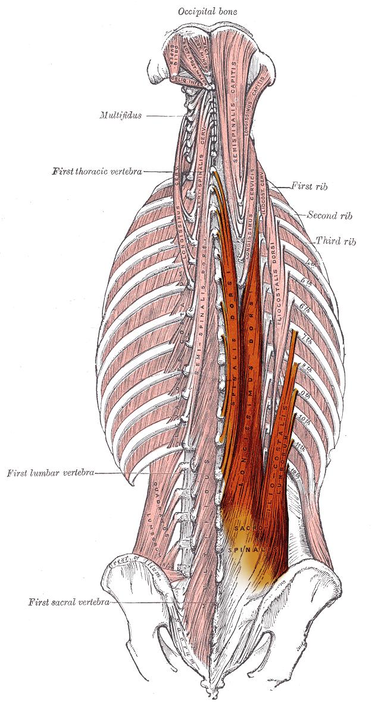Origin Spinous processes of T9-T12 thoracic vertebræ, medial slope ...