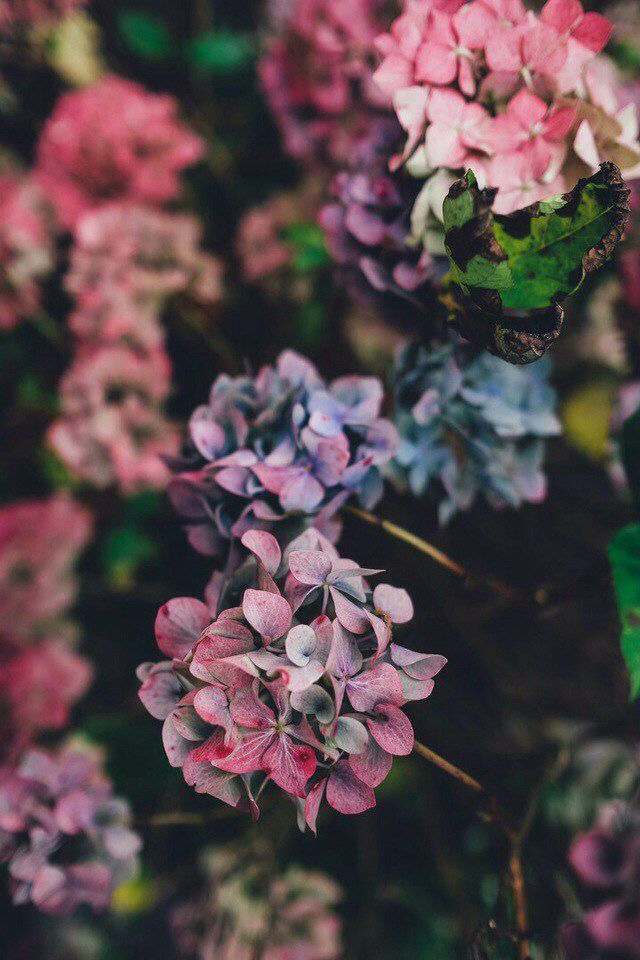Hydrangeas Flowers Nature Flowers Photography Flower Aesthetic