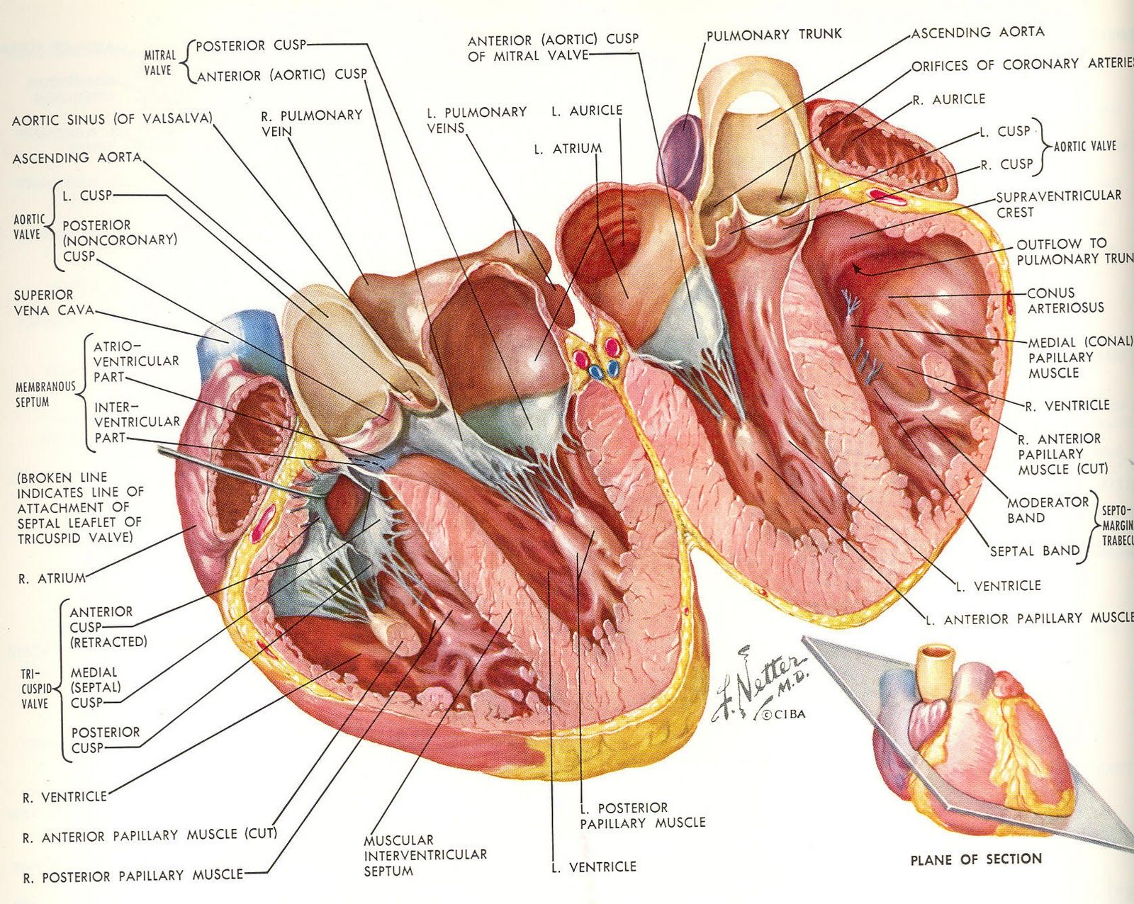 frank netter and his awesome heart he was such a genius - Netters Anatomy Coloring Book