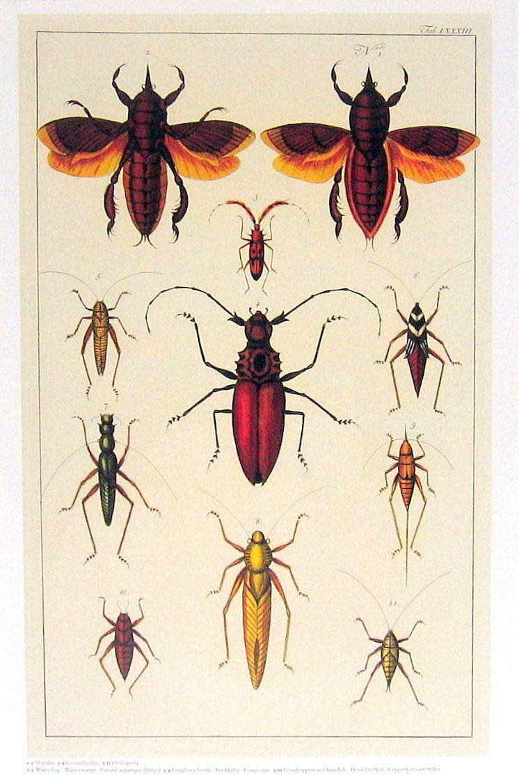 Water Bug Beetle Grhopper Seba