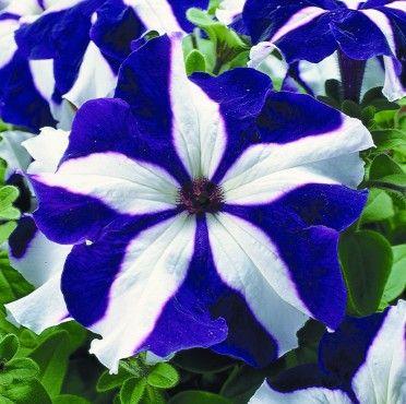 Blue Petunias Home Petunia Ultra Star FLOWER