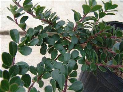 ARCTOSTAPHYLOS uva-ursi 'Point Reyes' Bearberry, Manzanita