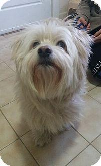 Freeport Ny Havanese Westie West Highland White Terrier Mix Meet Winston A Dog For Adoption Dog Adoption Havanese White Terrier