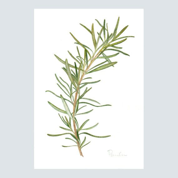 Fresh Rosemary PRINT Colored Pencil Art By PaulaPertileArt
