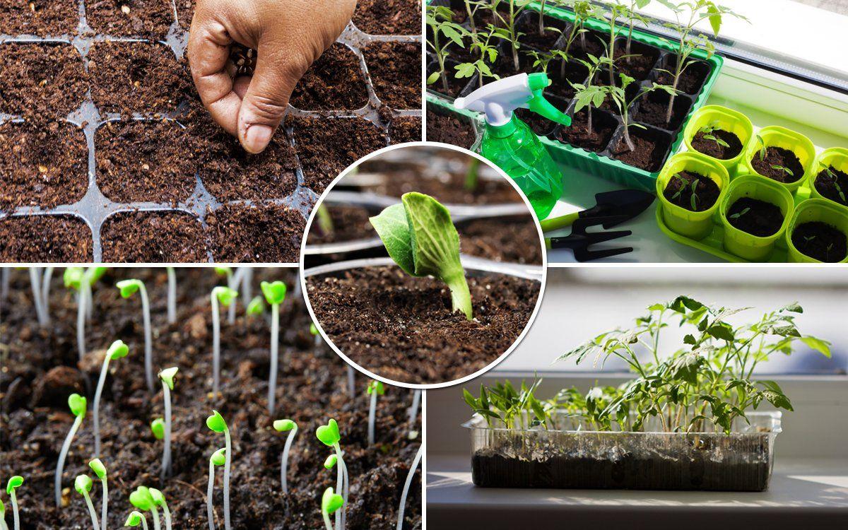 посев капусты июньской на рассаду