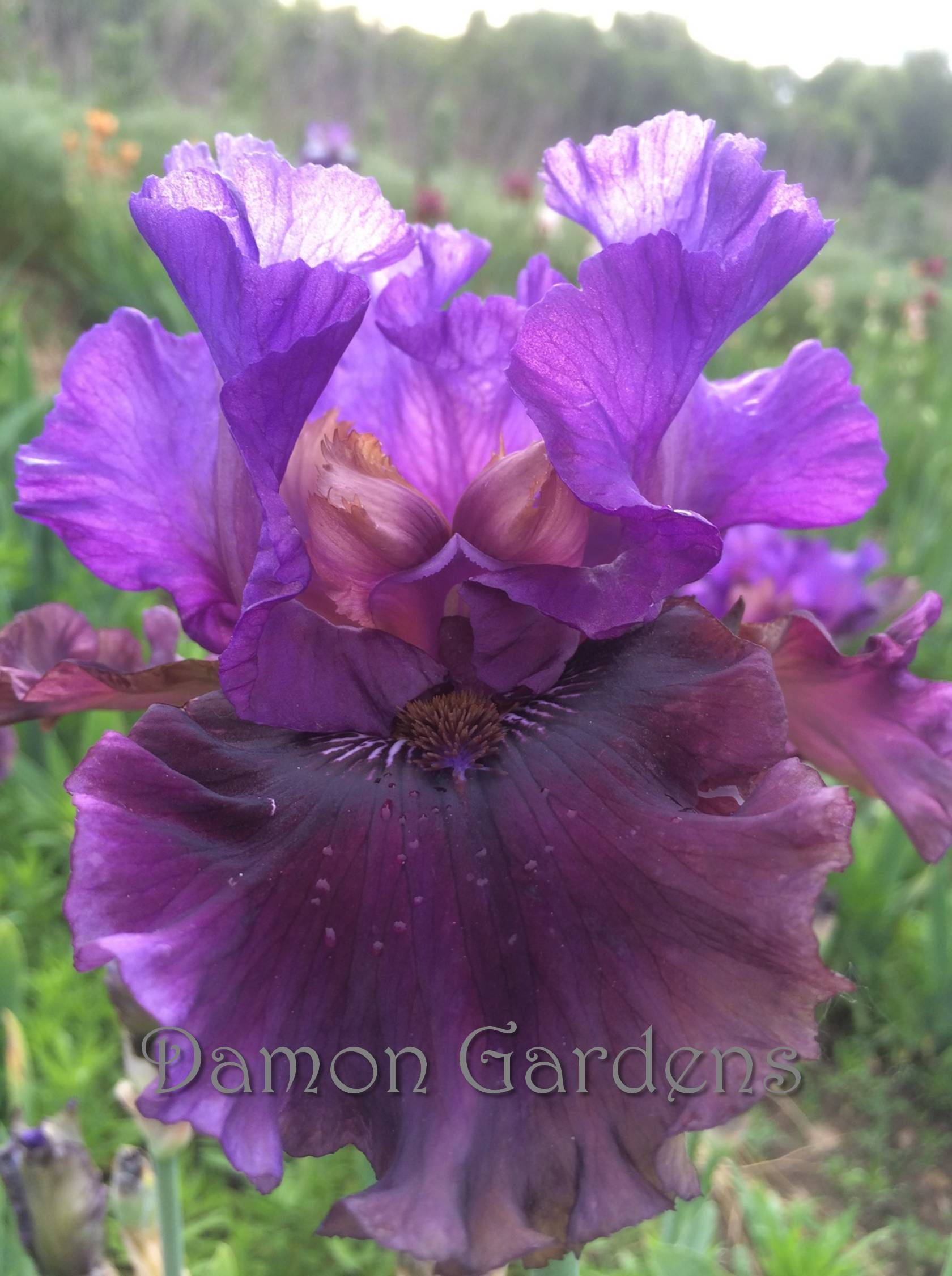 Iris Dakota Smoke 2017 Iris Season In Stock Pinterest Iris