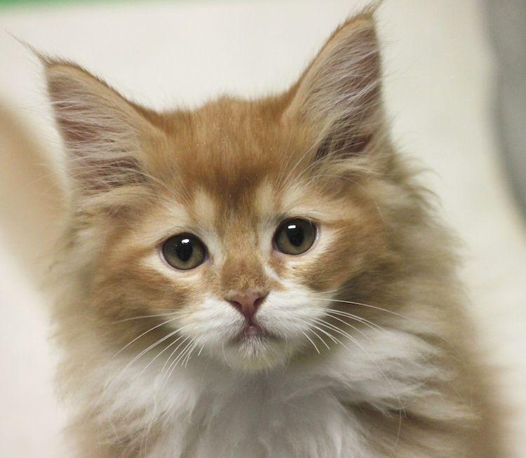Available Kittens Ragdoll Kittens For Sale Ragdoll Kitten Ragdoll Cat