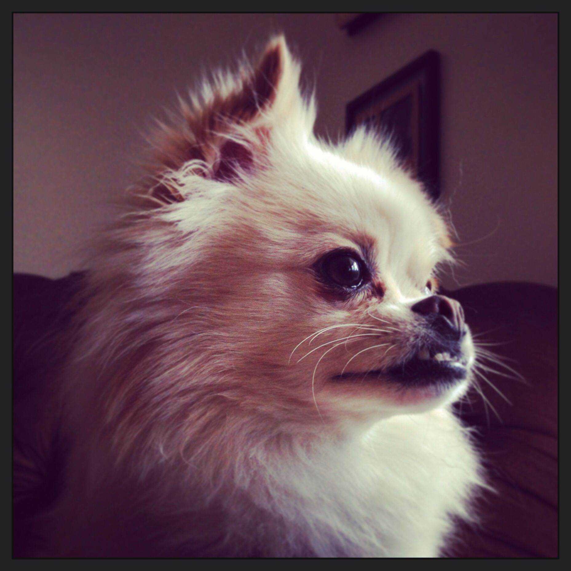 My Adorable Pomeranian Otto And His Cute Underbite Pomeranian