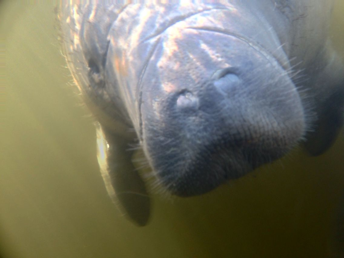 I took this picture of the baby manatee with my under water camera. This never gets old!