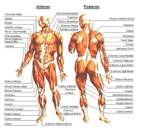 muscles-of-the-body-posterior-anterior (600×556) | health and, Muscles