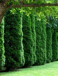 Arborvitaes Are Wonderful Choices For The Evergreen Hedge And Have Many  Varieties And Heights.