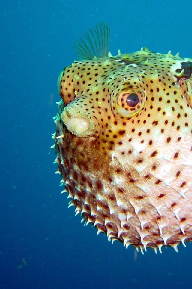 Puffer Fish Fish Sea Creatures Beautiful Fish